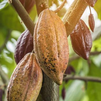 Découvrez les chocolats bio pur beurre de cacao, demandez un devis ou remplissez notre formulaire de contact - Cedric Turmel